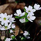 Hepatica nobilis 'Alba' by jules572