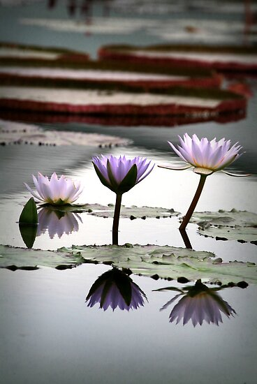 Reflected Lily Trio by KBritt