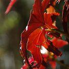 Angel Wings Begonia Leaves by yeuxdechat