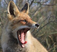 Red Fox - 5785 by DutchLumix