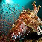Broadclub Cuttlefish, Papua New Guinea by Erik Schlogl