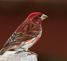 Purple Finch On Red by Gary Fairhead