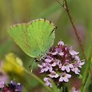 Green Hairstreak by marens