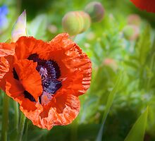 Spring Poppy by Geoff Carpenter