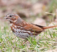 Fox Sparrow by DigitallyStill