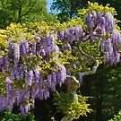 Wisteria Tree by Susie Peek