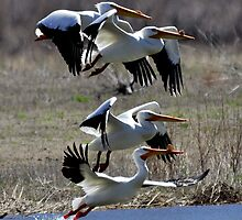 American Pelicans by stemple2011
