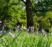 bluebell wood by Steve
