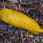 Pacific banana slug- Santa Cruz California by David Chesluk