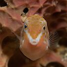 Eastern Smooth Boxfish, Sydney Harbour by Erik Schlogl