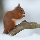 Red Squirrel In Snow by Kevin Bedford
