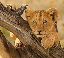 Cute Lion Cub, Masai Mara National Park by Kevin Bedford