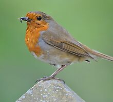 Robin collecting Dinner by Dorothy Thomson