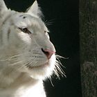 A White Tiger's Gaze by RickGregory