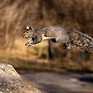 Flying Grey Squirrel by Jim Cumming