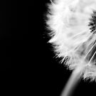 Dandelion fluff by LauraZim
