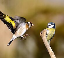 Goldfinch and Blue tit by Photo Scotland
