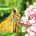 skipper butterfly by SusieG