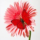 Red Butterfly On Pink Mum by Garry Gay