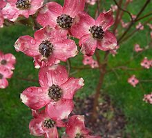 Pink Flowering Dogwood tree in bloom by JKGraziano