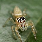 White Jumping Spider by f13 Gallery