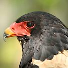 Bateleur Eagle by Gregg Williams