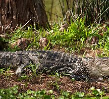 Later Gator - Green Cay Wetlands by Scott Denny