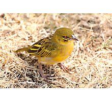 Yellow-fronted Canary, Serengeti National Park, Tanzania  Photographic Print