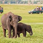 Asian wild elephant grazing with her calf  by Sudesh Pingamage