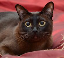 Beautiful Burmese by Rebecca  Tregear