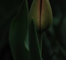 I am ready (Tulip) by Antanas