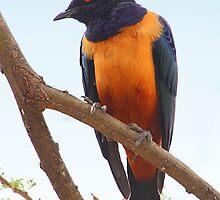 Hildebrandt's Starling, Serengeti, Tanzania by Carole-Anne