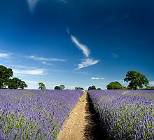 Lavender Fields by Dave Hayward