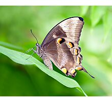 Wings - ulysses butterfly Photographic Print
