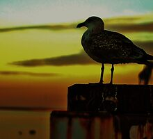 the setting sun gull by apsjphotography