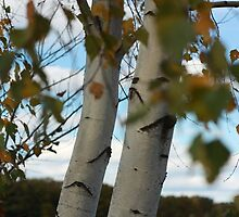 Autumn Birch tree by apsjphotography