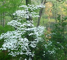 Orange tree behind my flowering dogwood, Greenbelt, Maryland by nealbarnett
