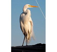 Great Egret and Line... Photographic Print