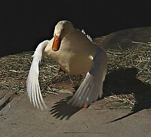 Duck Duck by Barb Miller