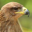 Tawny Eagle by Gregg Williams