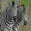 Zebra in synch by jozi1