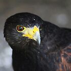 Juvenile Harris Hawk by Alyce Taylor