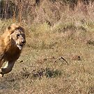 Lion Running From Buffalo by Michael  Moss