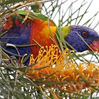 Grevillea for Dinner by Kelly Robinson