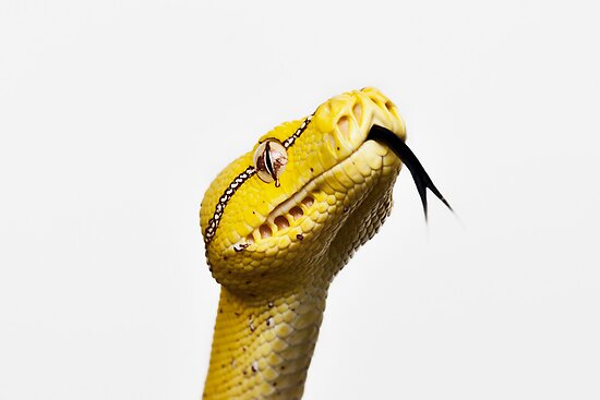 Australian Native Green Tree Python - Juvenile. by Ramzee86