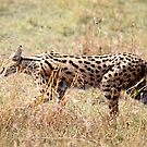 Serval Cat, Female, Serengeti, Tanzania  by Carole-Anne