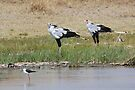 Pair of Secretary Birds,  Serengeti, Tanzania  by Carole-Anne