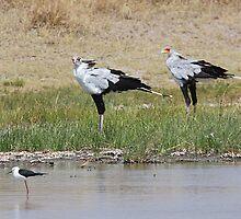 Pair of Secretary Birds,  Serengeti, Tanzania  by Carole-Anne