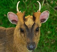 Muntjac Deer by Steve