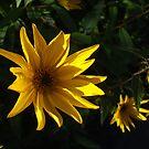 Sunny Yellow Rudbekia by Babz Runcie